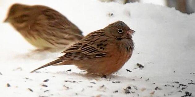 Rostsparven i Skutskär fick fart på fågelskådar-Sverige