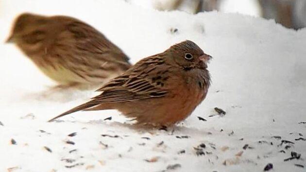 Rostsparven i Skutskär fick fart på fågelskådarna under jul och nyår.