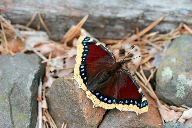 Sorgmantel, en av våra vackraste fjärilar.