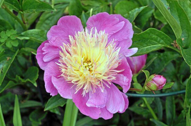 Luktpionen 'Sword Dance' blommar rikt och doftar underbart.