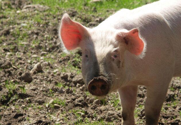 Foderbristen sätter stora avtryck även 2019, inte minst för gris- och fjäderfäproducenter.