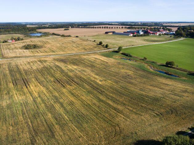 Högestad har kernza på 24 hektar och har testat lite olika radavstånd vid sådden.