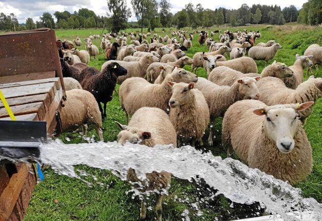 Betala lite mer och välj svenskt kött så att fårbönderna klarar sig, skriver Svenska Fåravelsförbundet.
