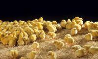 Försäljningen av kycklingar ökar kraftigt i USA