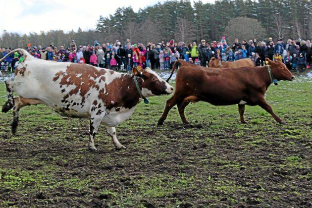 Det blir inget kosläpp i Gästrikland i år. Bilden är tagen vid ett kosläpp i södra Sverige.