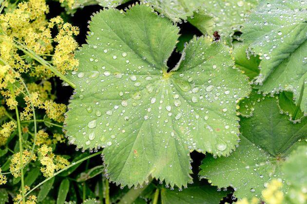 Jättedaggkåpa har vackert formade blad och skir blomning.
