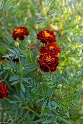 Sammetstagetes med mörkröda kronblad med gul mitt och strimma längs kanten är en effektfull färgkombination. Det finns flera sorter; 'Carmen', 'Panther', 'Red Brocade' och 'Red Cherry'.