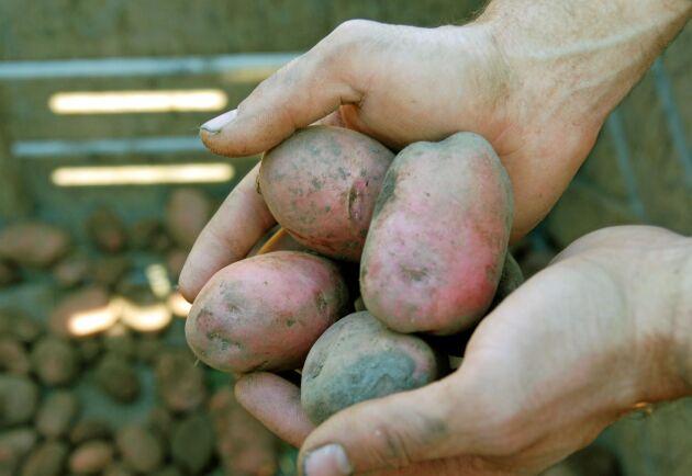 Regnet ställer till det för potatisodlarna.