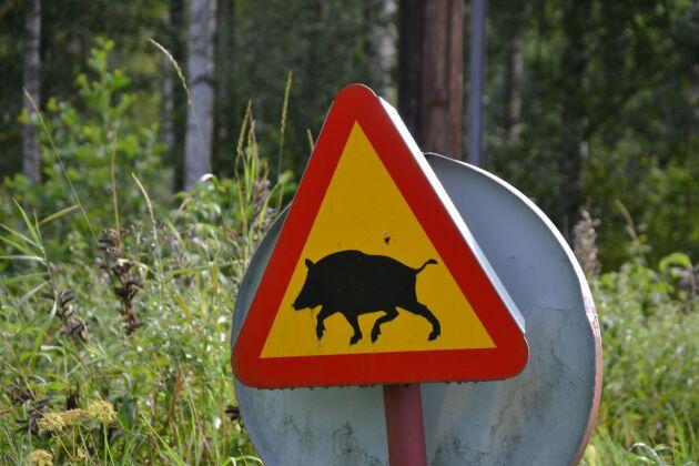 Vildsvin är numera efter rådjur den vanligaste orsaken till viltolyckor i trafiken.