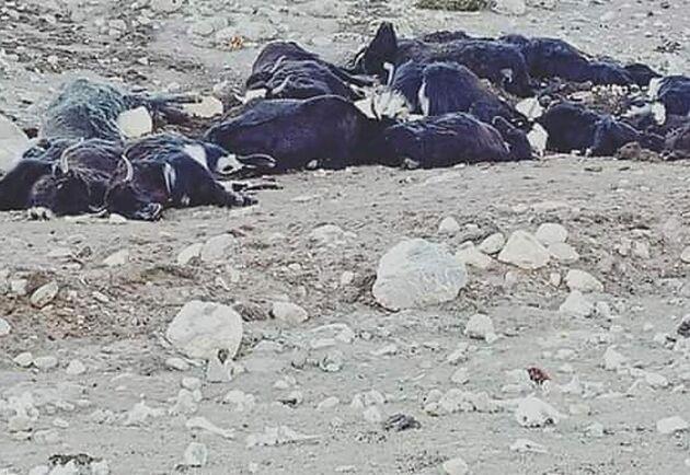 Nära 300 jakar har dött av svält i nordöstra Indien. Bilden har distribuerats av lokala myndigheter.