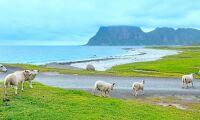 1 000 ton fårkött blir pälsdjursföda