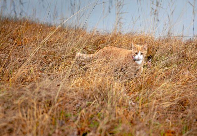 Katten Saffran följer gärna med på promenad ner till sjön.