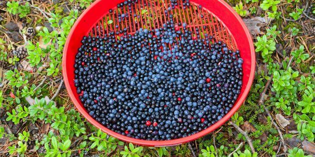 Plocka blåbär som ett proffs –knepen du inte kan vara utan