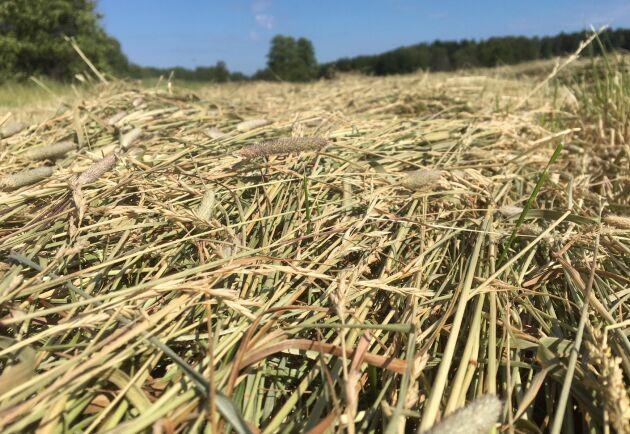 Försvarsmakten ställer också mark till förfogande för bete och vallskörd för att underlätta för lantbrukare som drabbats av torka och foderbrist. Arkivbild.