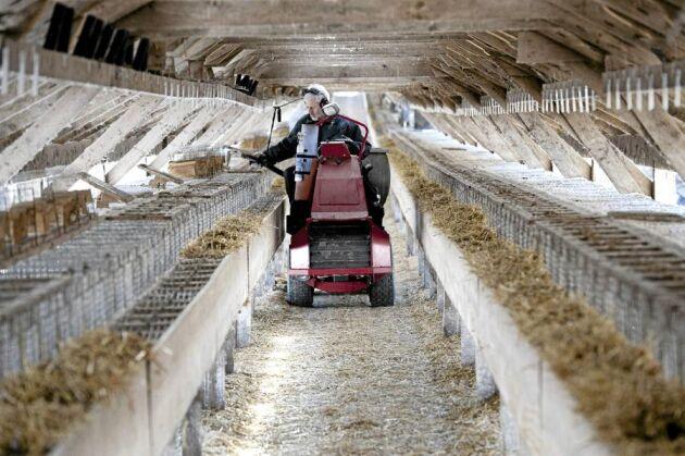 Bröderna Olsson har en tydlig ansvarsfördelning och Dan är den som i första hand sköter utfodringen. Huvuddelarna i fodret är spannmål och restprodukter från fisk och kyckling.