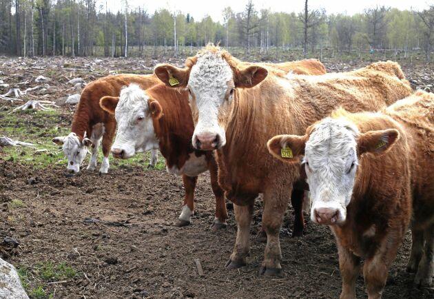 Efter fjolårets foderbrist ska forskarna se om tallflis och aspbark kan vara något att mata korna med.