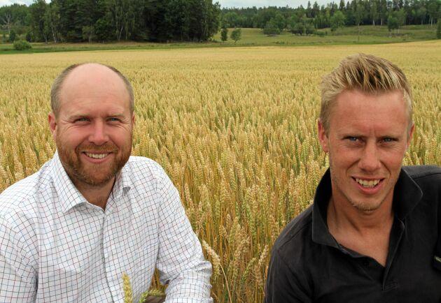 Johan Lagerholm, Växtråd och Filip Isaksson, Rocklunda, Sörmland, framför vårvetet som såddes den 3 januari. Det tröskades den 22 augusti.