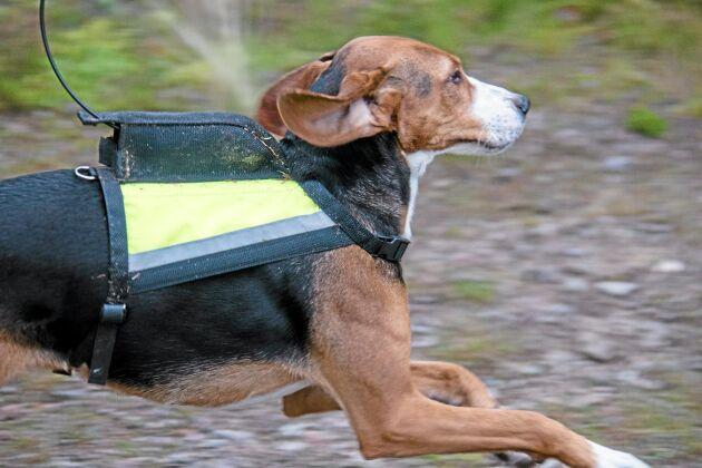 Ofta får haren springa vidare när Bengt Johansson tycker att hunden drivit tillräckligt länge.