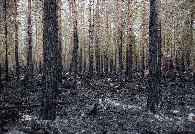 Skogsbranden i Västmanland. Skogsbrand i Sala. Släckningsarbete i skogen söder om Ängelsberg.