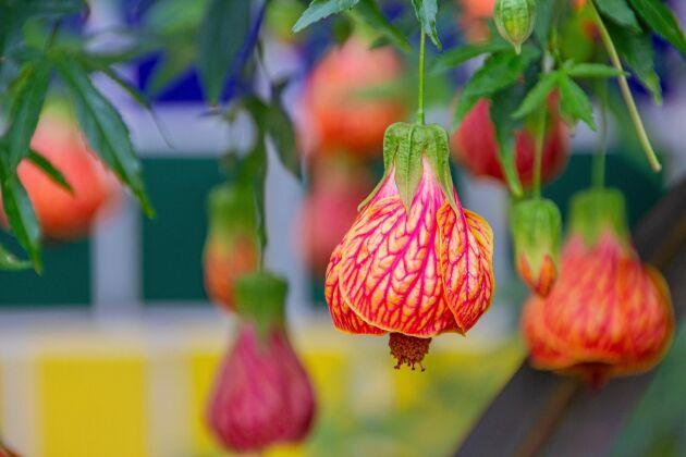 Känslig men ack så vacker. Blomsterlönn finns i gult, rött, rosa och strimmigt.