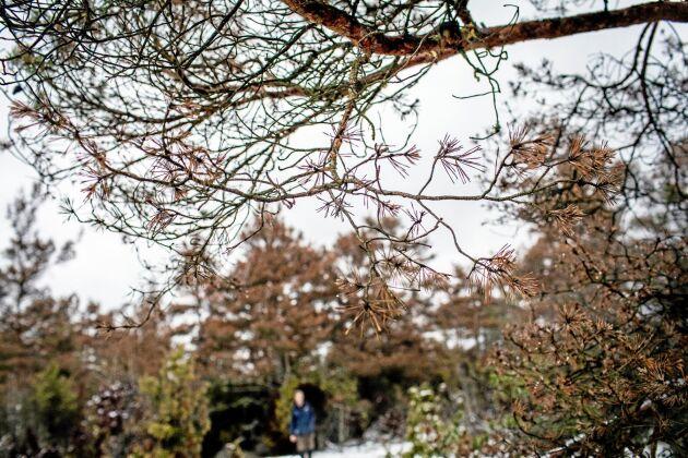 Diplodia har drabbat tallskog på norra Gotland.
