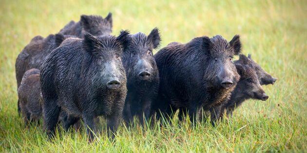 Gemensam plan ska öka jakten på vildsvin