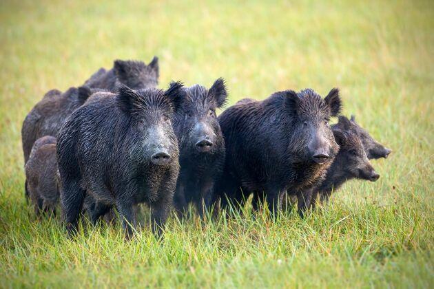Förökningen av vildsvin ställer till stora problem. Nu tas gemensamma krafttag för att minska antalet.