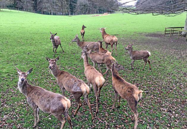 Kronhjortar i hägn invid Blair Castle i Perthshire. Frilevande i omgivande bergsområden är de föremål för betalda jakter, en viktig intäktskälla för godsförvaltningen.
