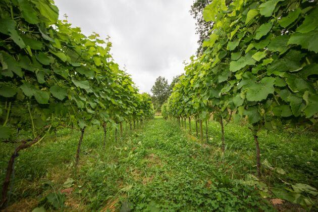 Det är hög tid att ta de svenska vinerna på allvar, menar debattören.