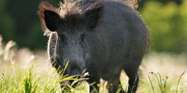 Tillägg i anställdas kontrakt – nytt vapen mot svinpest