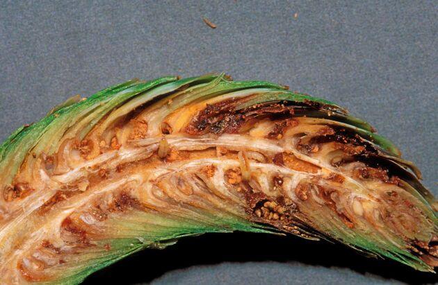Grankottvecklarens larver kan orsaka stora skador för fröodlaren.
