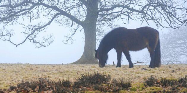 Se upp i hagen –två luriga faror för betande hästar i höst!