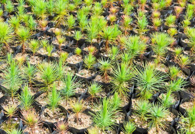 Femtio nya vill Svensk Skogsservice anställa de närmaste åren. Företaget planterar bland annat fyra miljoner trädplantor per år.