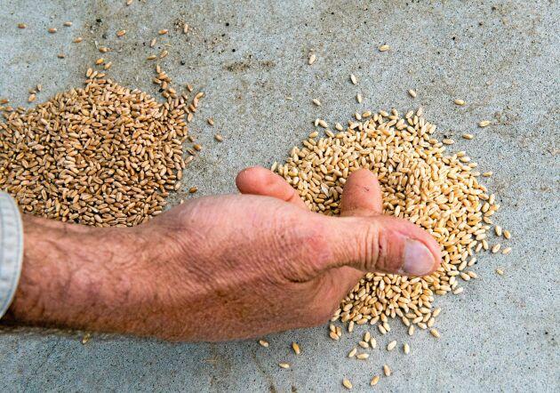 Det röda höstvetet är vanligare i Colorado men bröderna Linnebur odlar bara vitt höstvete. Utsädet har tagits fram av Colorado State University. Deras Progressive Farms är en av ett antal certifierade återförsäljare.