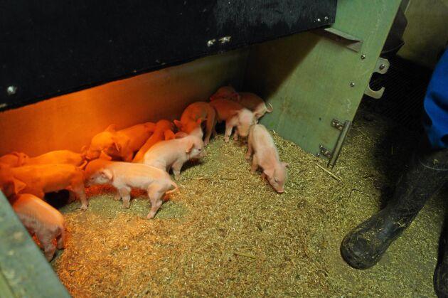 Mer än en tredjedel av de danska smågrisarna exporteras och föds upp till slakt utomlands.