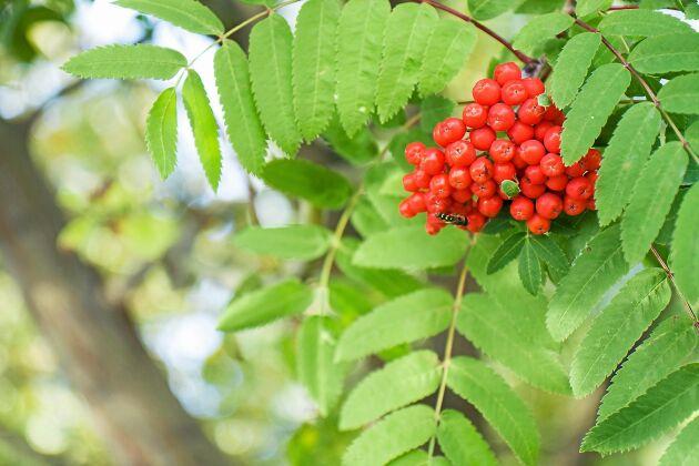 Rönnen är en god fruktkamrat, värd för rönnbärsmalen.