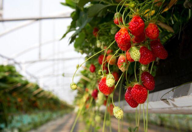 Den estniska regeringen backar från ett tidigare beslut och tänkte nu tillåta arbetskraft från utanför EU att komma in i landet och arbeta i jordbrukssektorn. I och med regeringens kapitulation är därmed det som inhemska medier kallat jordgubbskriget över.