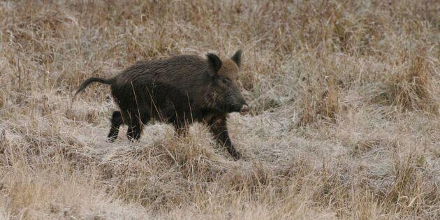 Jägare skadad i vildsvinsattack