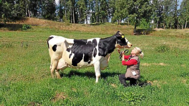 624 Amalia är 15 år gammal, har fött 11 kalvar och producerat mer än 170 ton mjölk i sitt liv. Och hon fortsätter producera!