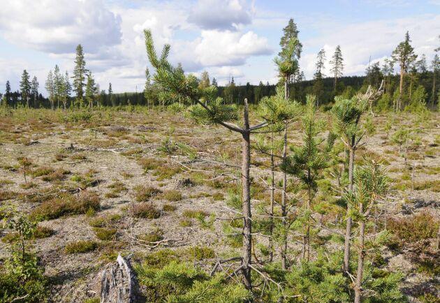 Västerbottens inland är hårt drabbat av älgbetesskador, värst är läget i Lyckseles och Storumans kommuner.
