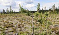 Kraftiga älgbetesskador i Norrland