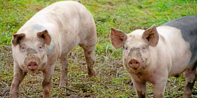 Minskat klimatavtryck från svensk gris
