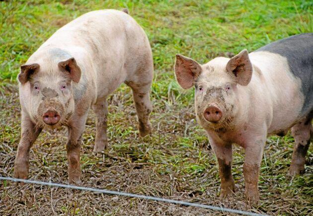 Halla gård som Land Lantbruk skrivit om, satsar på att så långt som möjligt ha ett slutet kretslopp med biogas och eget proteinfoder. De ökar produktionen 2020 med sitt eget koncept där grisarna har möjlighet till utevistelse.