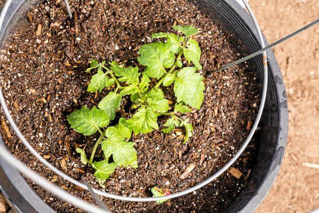 Stor kruka är det som gäller för tomatplantan.