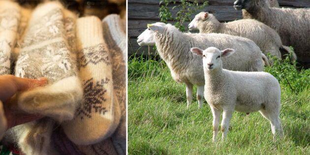 Import för miljoner – samtidigt slängs över 1 000 ton svensk ull