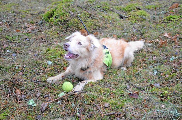 En barkborrehund måste vara mer intresserad av belöningen än av vilt. Mikael Johansson använder gula tennisbollar och lek som belöning för ett lyckat sök.