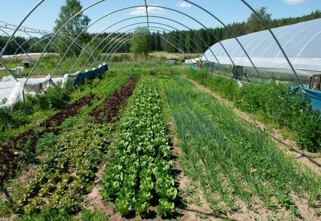 En storskaligare odling av några få grönsaker hade kanske varit lönsammare. Men Torfolk vill fortsätta odla många sorter. Totalt växer ett 80-tal olika på gården.