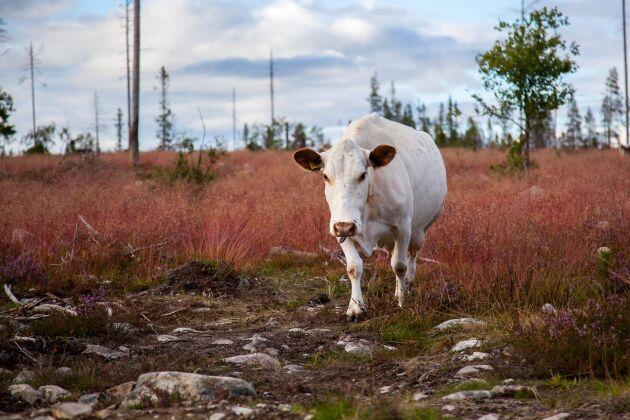 Jordbruksverket samarbetar med rasföreningarna för att de ska sprida information, kunskap och intresse om Sveriges utrotningshotade husdjursraser. Fjällkon tillhör dessa.