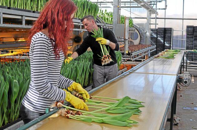 När produktionen når sin topp skördas 1 miljoner tulpaner i veckan på Alverbäcks blommor.