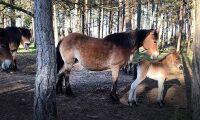 Årets första russföl fött på Lojsta hed